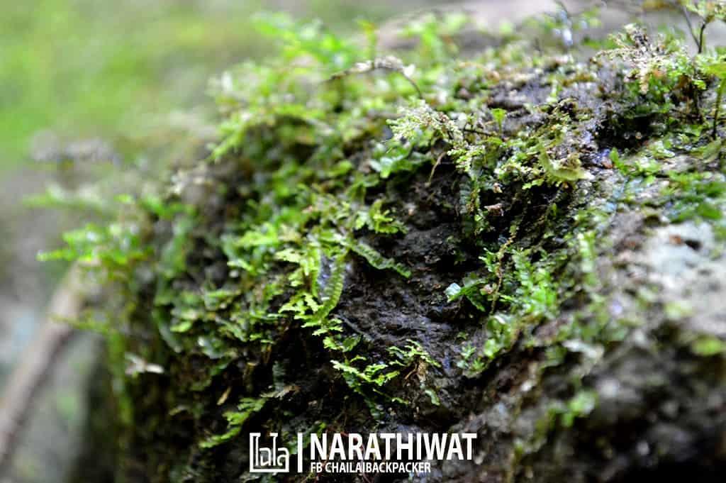 narathiwat-chailaibackpacker-158