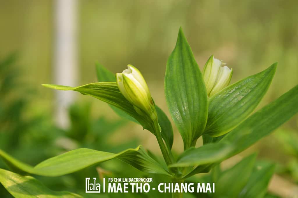 mae-tho-121