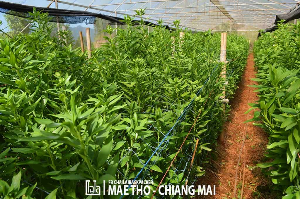 mae-tho-122
