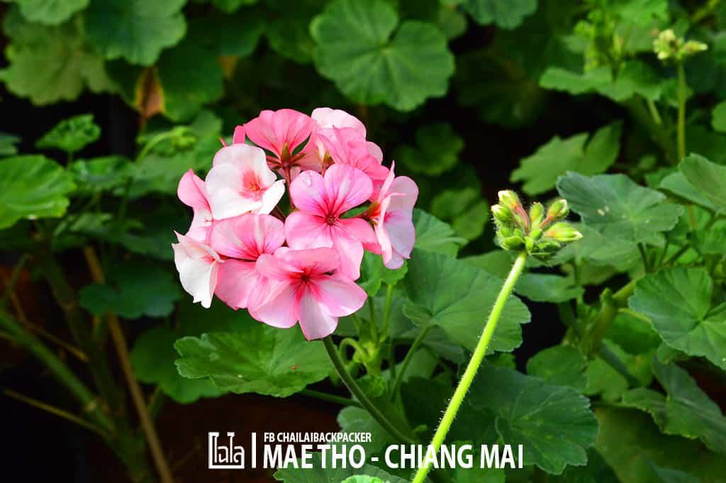 mae-tho-126