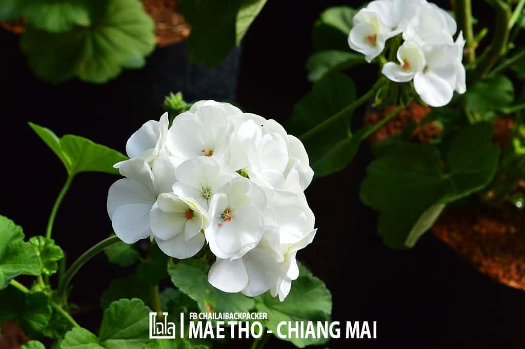 mae-tho-127