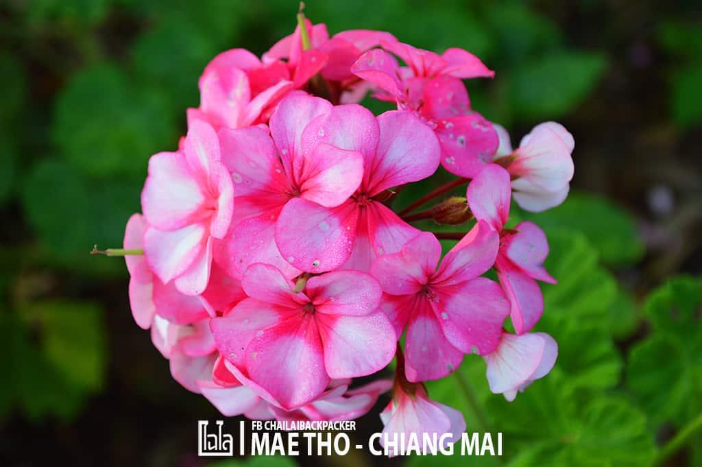 mae-tho-129