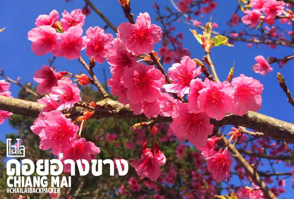 ดอกซากุระสายพันธุ์ญี่ปุ่น ณ ดอยอ่างขาง