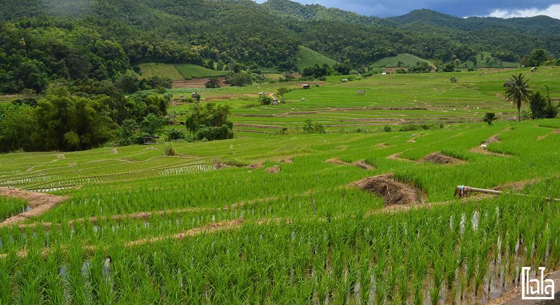 Chiang Mai - นาขั้นบันได (15)