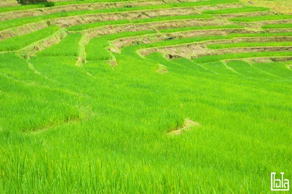 Chiang Mai - นาขั้นบันได (7)