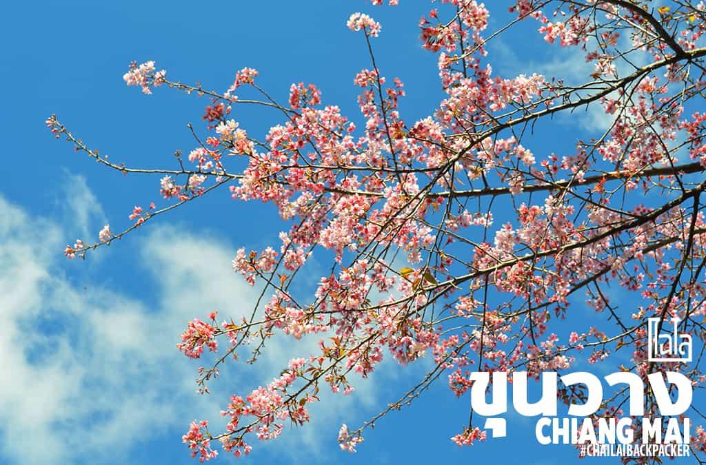 Chiang Mai Pink (17)