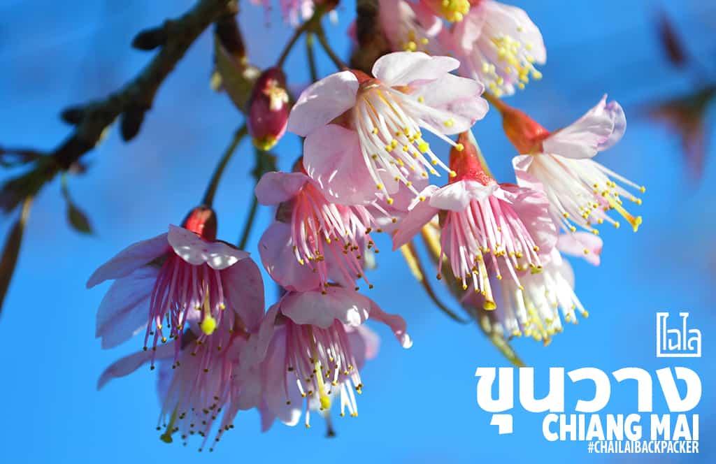 Chiang Mai Pink (18)