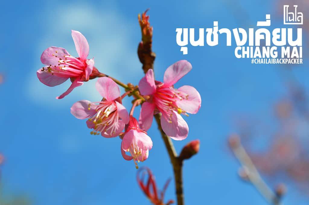 Chiang Mai Pink (26)