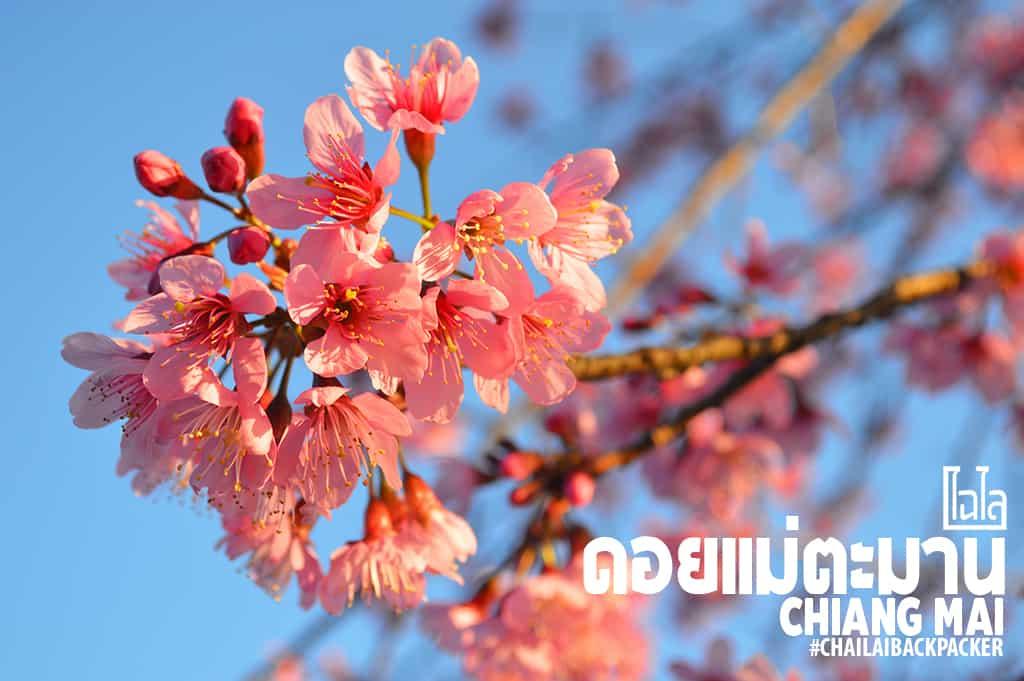 Chiang Mai Pink (29)