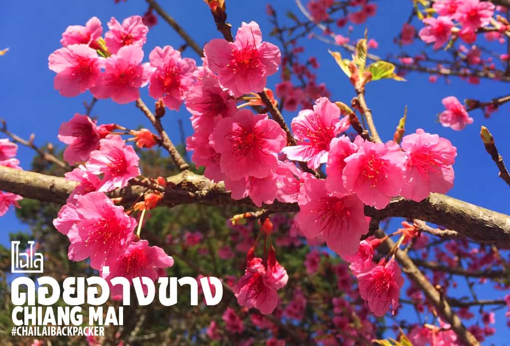 Chiang Mai Pink (3)