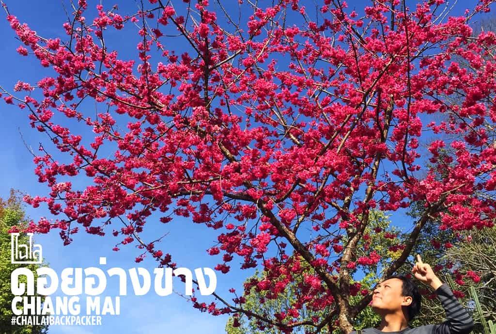 Chiang Mai Pink (4)