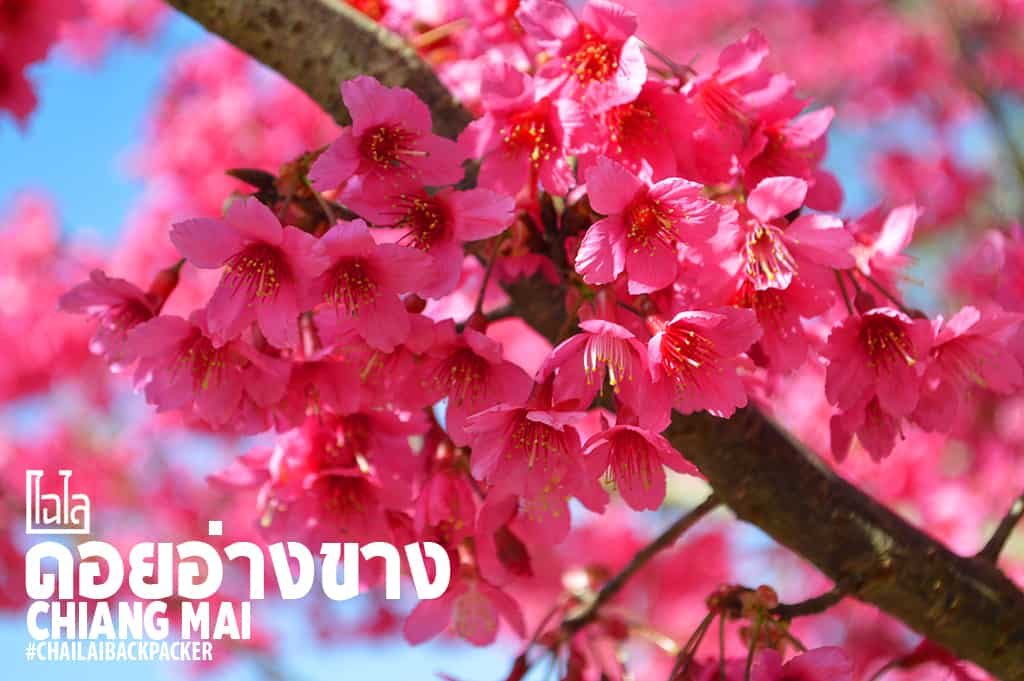 Chiang Mai Pink (5)